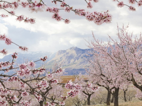 Almond Blossoms Spring copy